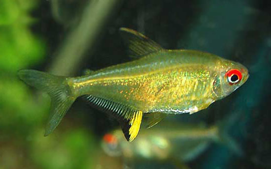 Lemon tetra country lifestyle for Types of tetra fish